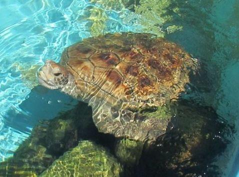 https---media-cdn.tripadvisor.com-media-photo-s-11-84-d6-51-uma-tartaruga-jovem-em