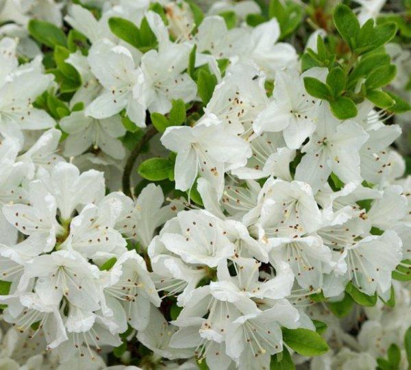 Сколько раз в год и когда цветет азалия? Советы цветоводов любителям азалий Бутонизация азалии уход в этот период.