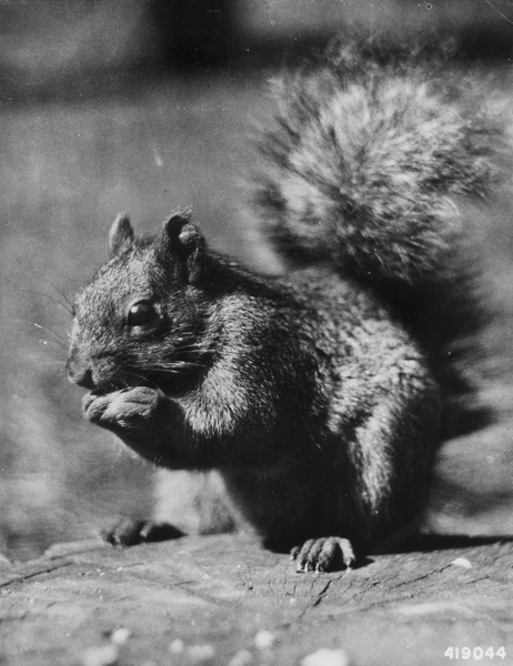 Photo of squirrel taken in 1937, Chequamegon-Nicolet National Forest in Wisconsin.