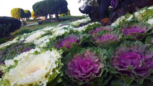 decorative cabbages