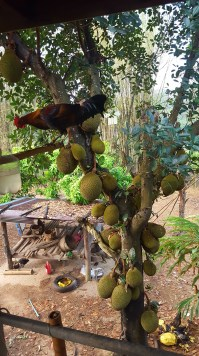 Rooster and jackfruit