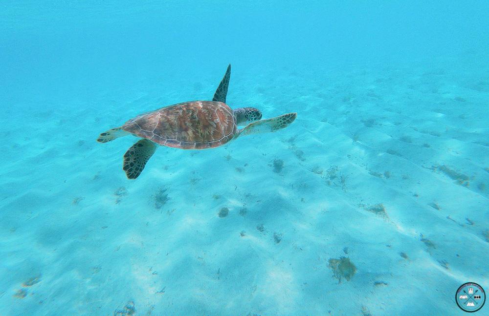 Nager avec les tortues des îles de Petite Terre