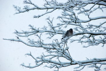 ©P.Romero: Woodpigeon enduring the snowy weather. Winchester, UK (2010)