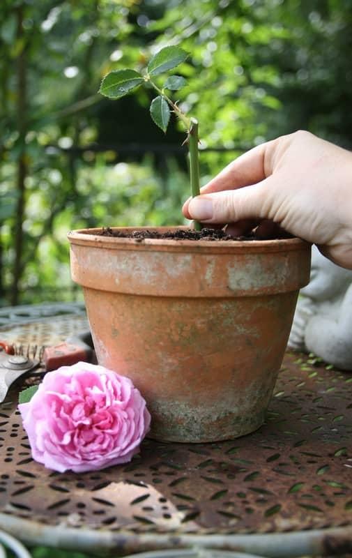 Bouture Rosier Dans L'eau : bouture, rosier, l'eau, Bouture, Rosier, Quand, Comment, Faire, Explications