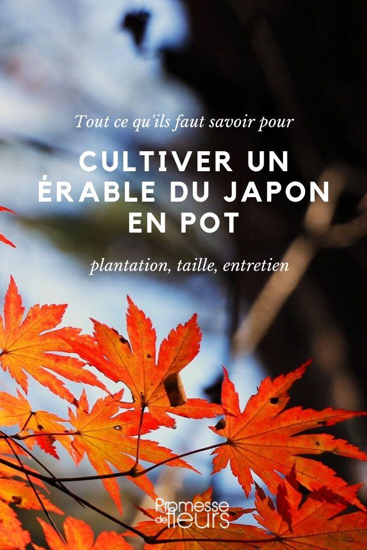 Planter Erable Du Japon : planter, erable, japon, Erable, Japon, Choix,, Plantation, Entretien, Conseils