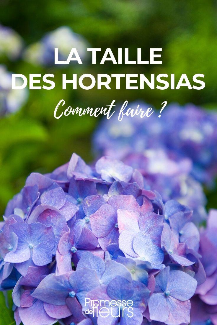 Comment Avoir Des Hortensias Rouges : comment, avoir, hortensias, rouges, Hortensias,, Hydrangea, Comment, Tailler, Conseils