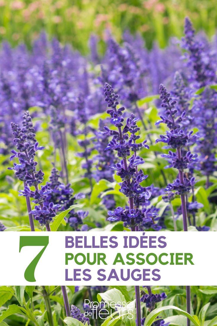 Comment Tailler La Sauge Arbustive : comment, tailler, sauge, arbustive, Sauges,, Salvia, Comment, Associer, Jardin, Idées