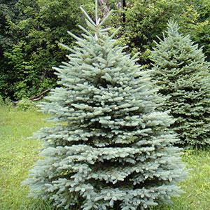 Blue Spruce 'Bakeri'