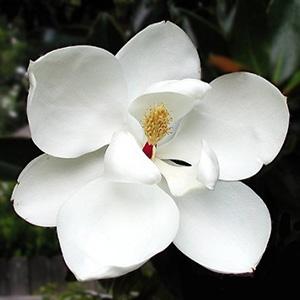 Magnolia 'Little Gem'