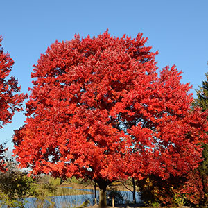 Red Maple 'October Glorry'