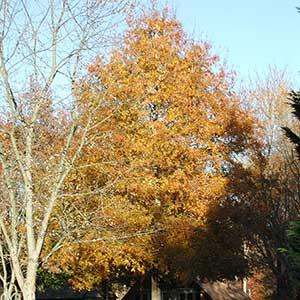Willow Oak 'Hightower'