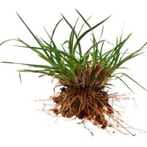 getting rid of crabgrass