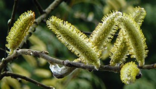 Greenish-yellow spring catkins (Photo © 2017 by V. Nesdoly)