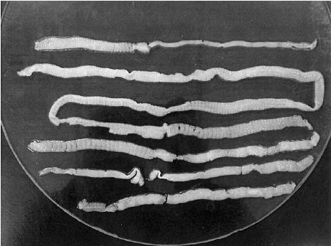 Вред рыбы, паразиты, ленточные черви