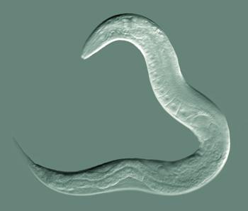 Вред рыбы, паразиты, круглые черви (нематоды)