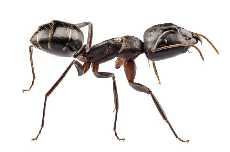 Carpenter Ants have a narrow waist with more visible sections. Their flying varieties have back wings which are smaller than their front wings.