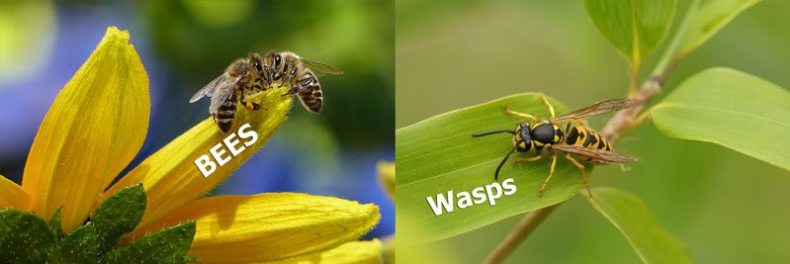 The visual difference between bees and wasps