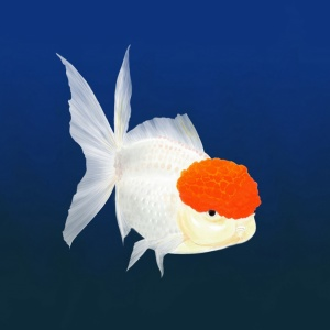 Oranda, goldfish, animal illustration