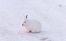 Arctic Hare (4)