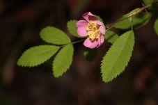 Rosa gymnocarpa