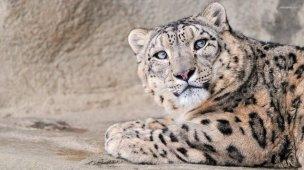 Snow Leopard5