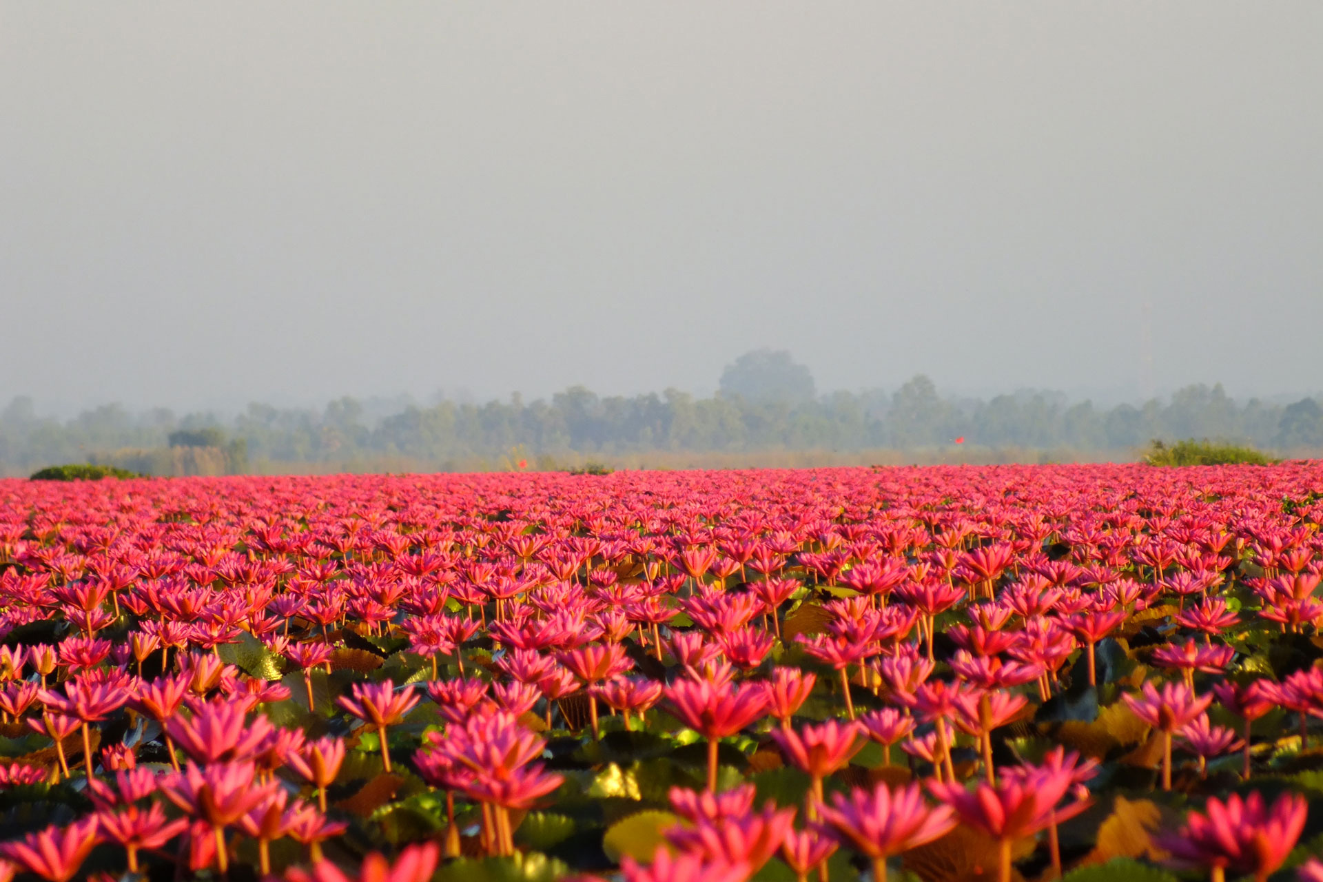 RED LOTUS UDON THANI