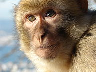 Colored photograph of the face of a Barbary macaque monkey - light brown colored with a determined look on its face. 200 million horsemen.