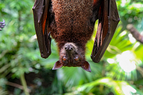 Colored photograph of a brown bat hanging upside down. Green leafy background. Blame Game
