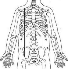 List of Human Anatomical Regions Flashcards Flashcards by