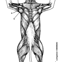 Human Muscles Diagram Labeled Front And Back Cat6 Crossover Wiring Anatomy Cat Dissection Flashcards By Proprofs