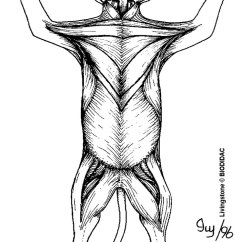 Cat Dissection Muscle Diagram Back How To Read Crochet Diagrams Anatomy Flashcards By Proprofs Front