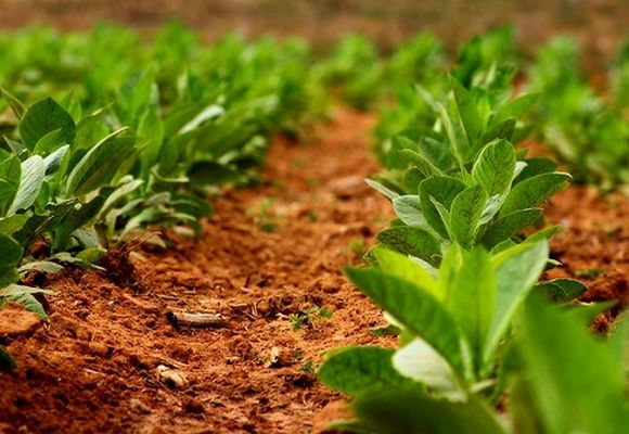 तंबाकू झाड़ियों लैंडिंग योजना