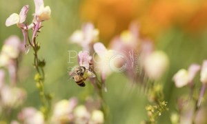 Mutualistic relationship bee on flower