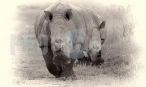African Rhinocerotidae | ProSelect-images