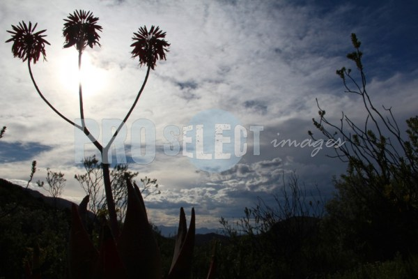 Aloe Silhouette   ProSelect-images