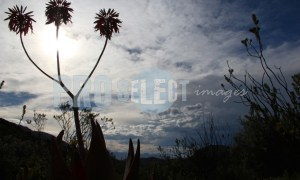 Aloe Silhouette | ProSelect-images