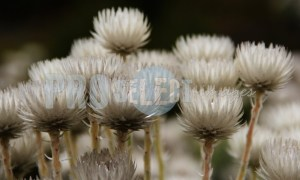 Asteraceae white everlasting | ProSelect-images