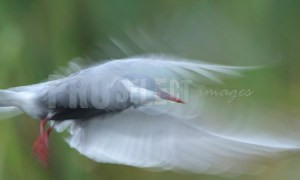Bird in flight | ProSelect-images