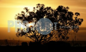 Blue Gum Tree silouette | ProSelect-images