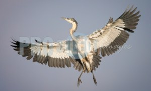 Blue heron in flight | ProSelect-images
