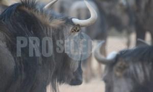 Blue wildebeest herd | ProSelect-images