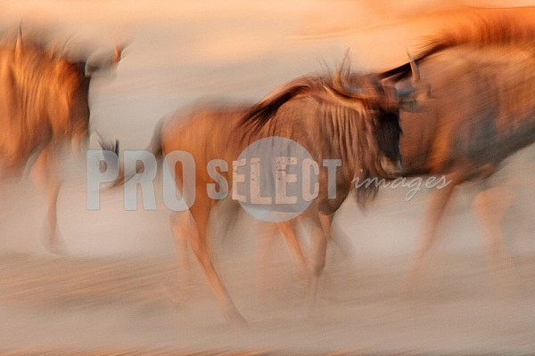 Blue Wildebeest running | ProSelect-images