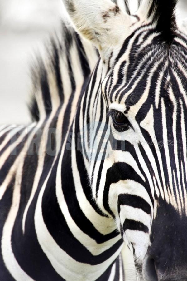 Burchell's Zebra Quagga   ProSelect-images