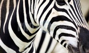 Burchells Zebra Face   ProSelect-images