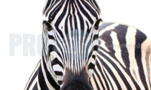 Burchells Zebra portrait Moreletta | ProSelect-images