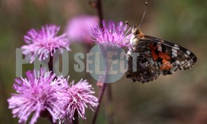 Butterfly on pompom weed | ProSelect-images
