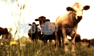 Calf with Herd | ProSelect-images