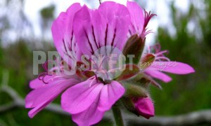Cape Flora Purple flower | ProSelect-images