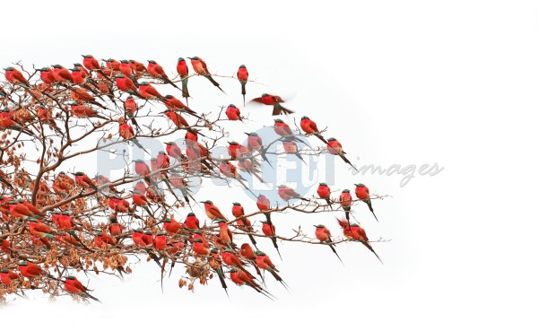 Carmine bee eaters on branch   ProSelect-images