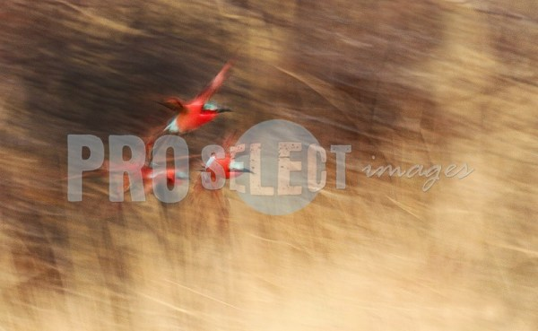Carmine bee eaters trio | ProSelect-images